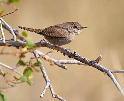 Photograph - House Wren Perched On A Branch by Melinda Fawver