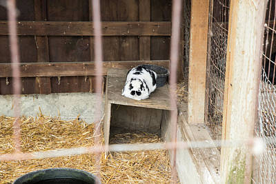 Photograph - Hovander Homestead Bunny by Tom Cochran