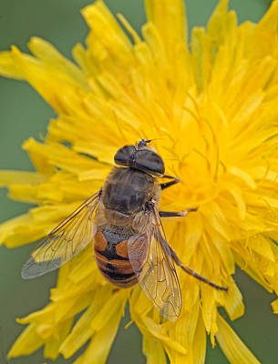 Photograph - Hover Fly On Sow Thistle by Jim Zablotny