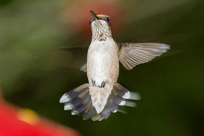 Photograph - Hover Hummer by Robert L Jackson