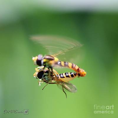 Photograph - Hoverflies by J McCombie