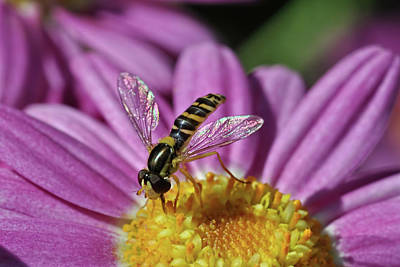 Photograph - Hoverfly 1 by Isam Awad