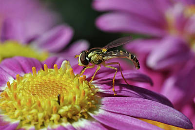 Photograph - Hoverfly 2 by Isam Awad