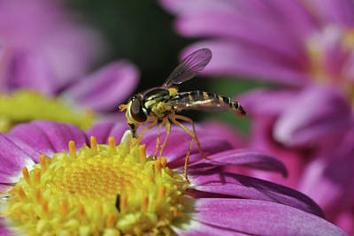 Photograph - Hoverfly 3 by Isam Awad