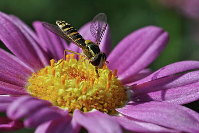 Photograph - Hoverfly 4 by Isam Awad