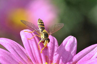 Photograph - Hoverfly 6 by Isam Awad