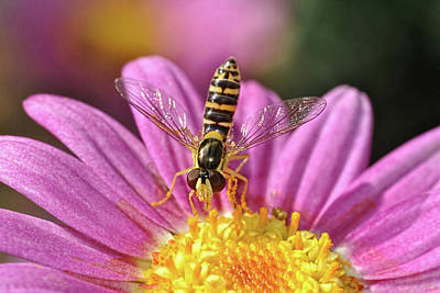 Photograph - Hoverfly 7 by Isam Awad