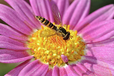 Photograph - Hoverfly 8 by Isam Awad