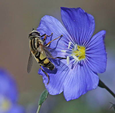 Flower Photograph - Hoverfly by Gary Wing