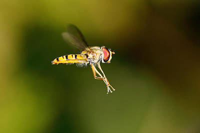 Photograph - Hoverfly by Grant Glendinning