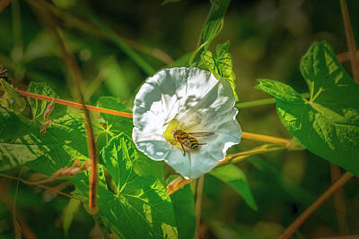 Photograph - Hoverfly In Bindweed.  by Leif Sohlman