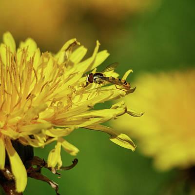 Photograph - Hoverfly On A Dandelion by Jouko Lehto