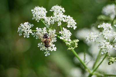 Photograph - Hoverfly On A Flower by Jouko Lehto