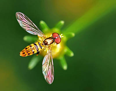 Photograph - Hoverfly On Coreopsis by Carolyn Derstine