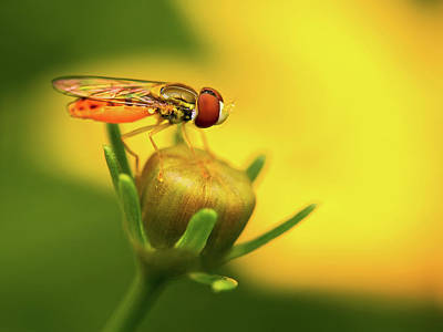 Photograph - Hoverfly On Flower Bud by Carolyn Derstine