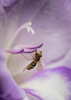 Photograph - Hoverfly On Gladiolus by Robert Potts