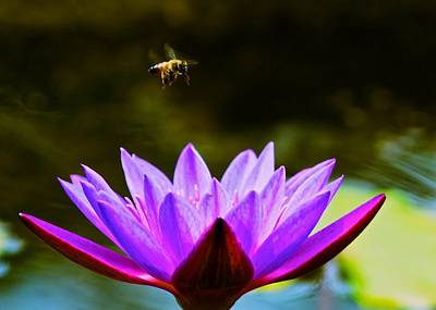 Photograph - Hovering Bee And Lotus Flower by Kristina Deane