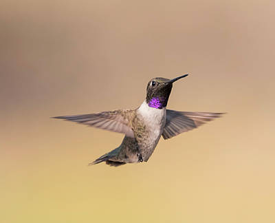 Photograph - Hovering Black Chinned by Loree Johnson