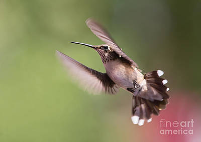 Photograph - Hovering Hummer 2 by Kevin McCarthy