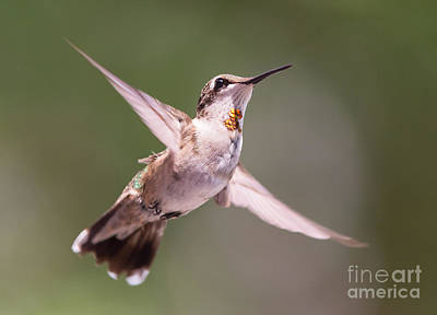 Photograph - Hovering Hummer 4 by Kevin McCarthy