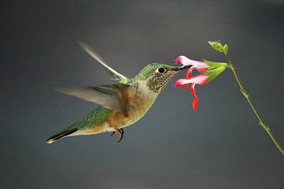 Photograph - Hovering Hummer by Lauren Lang