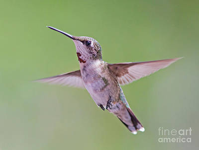 Photograph - Hovering Hummingbird 5 by Kevin McCarthy