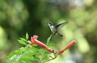 Photograph - Hovering Hummingbird by Debbie Oppermann