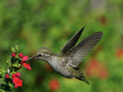 Photograph - Hovering Hummingbird by Richard Stephen
