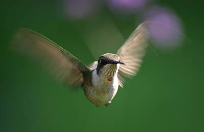 Hovering Hummingbird Art Print by Robert E Alter Reflections of Infinity