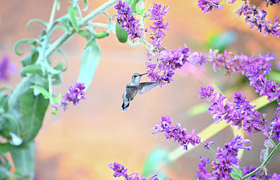 Photograph - Hovering In The Lavender by Lynn Bauer