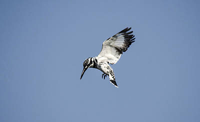Photograph - Hovering Of White Pied Kingfisher by Manjot Singh Sachdeva