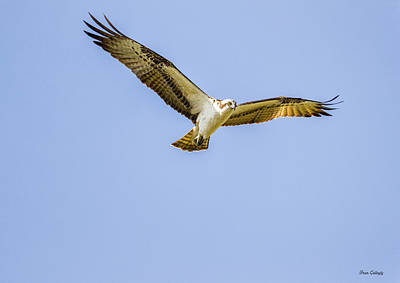Photograph - Hovering Raptor by Fran Gallogly
