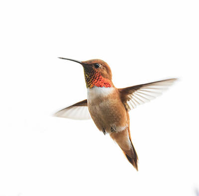 Photograph - Hovering Rufous Hummingbird by Angie Vogel