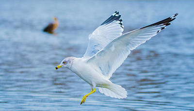Photograph - Hovering Seagull by Jeff at JSJ Photography