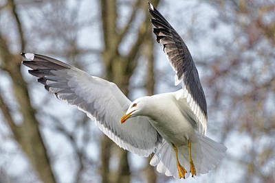 Photograph - Hovering Seagull by Nadia Sanowar