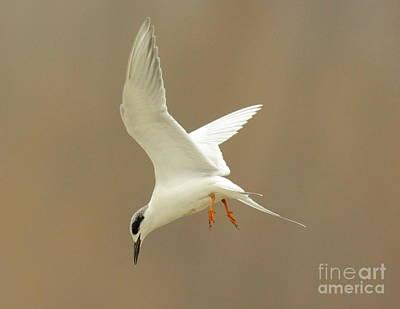 Hovering Tern Art Print by Robert Frederick
