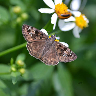 Photograph - Hovrace's Dusky Wing Butterfly by rd Erickson
