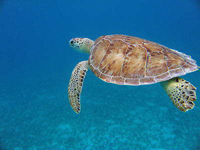 Green Sea Turtle Photograph - How Green It Is by Kimberly Mohlenhoff