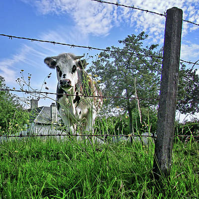 Photograph - How Now - Normandy Cow by Nikolyn McDonald