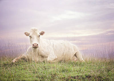 Photograph - How Now White Cow by Heather Applegate