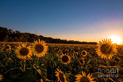Photograph - How Sunflowers Are Made by Robert Frederick