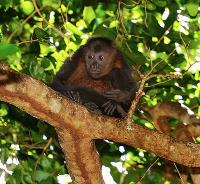 Photograph - Howler Monkey by Arthur Dodd