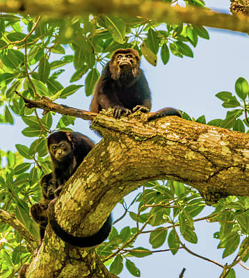Photograph - Howler Monkeys by Harry Strharsky