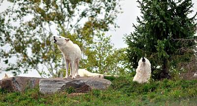 Photograph - Howling Arctic Wolves by Elaine Manley