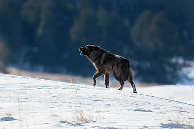 Photograph - Howling Black Yearling Wolf by Mark Miller