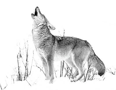 Photograph - Howling Coyote Black And White by Athena Mckinzie