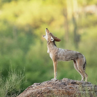 Photograph - Howling For Breakfast by Diane Enright