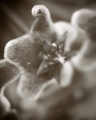 Pentagram Photograph - Hoya by C E Dyer