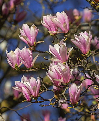 Photograph - Huangshan, Magnolia Cylindrica, Flowers by Elenarts - Elena Duvernay photo