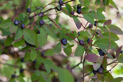 Photograph - Huckleberries by Fran Riley